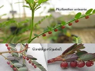 Phyllanthus urinaria fruits.