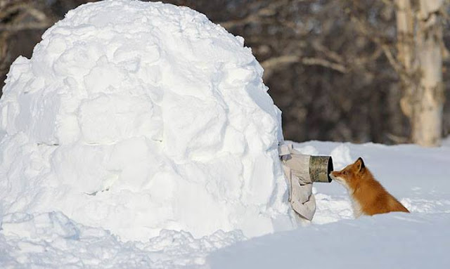 Crazy Photographers with Fox ice