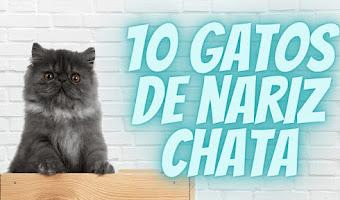 10 Gatos con nariz chata