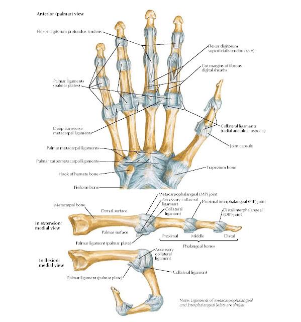 Metacarpophalangeal and Interphalangeal Ligaments Anatomy