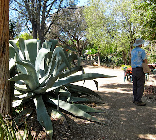 an agave not flowering
