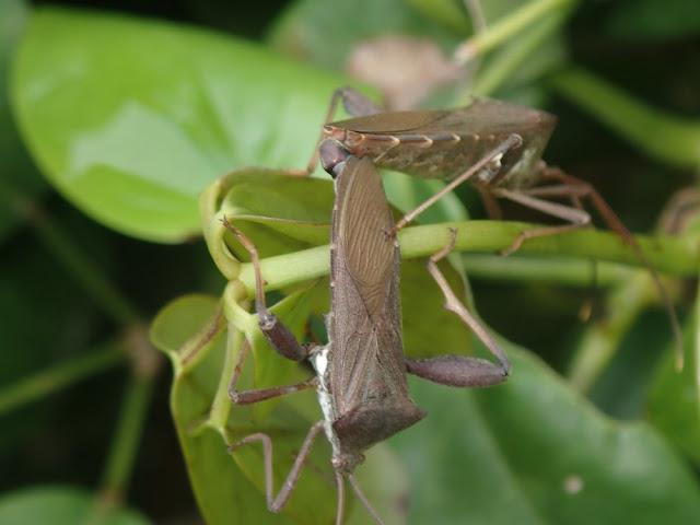 Mictis longicornis