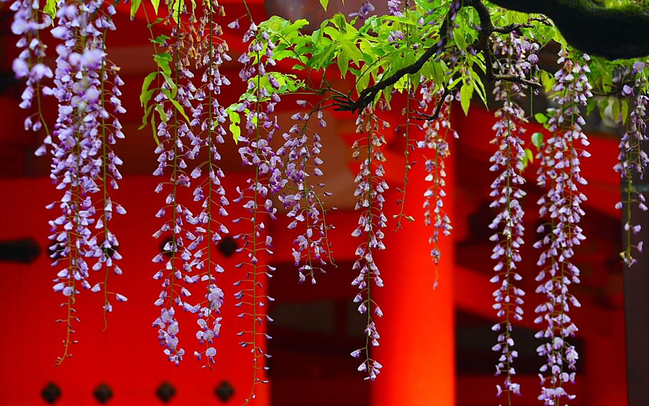 Wisteria Flower Wallpaper