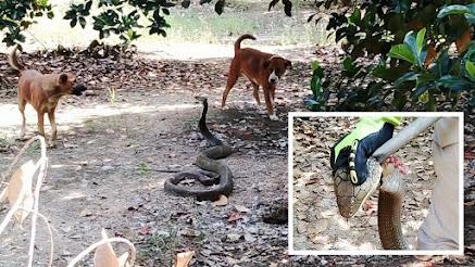 Ular king kobra dihadang dua anjing penjaga kebun