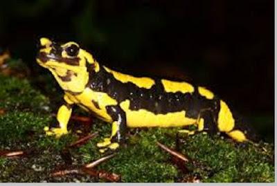 Salamander (Salamandra sp) - berbagaireviews.com