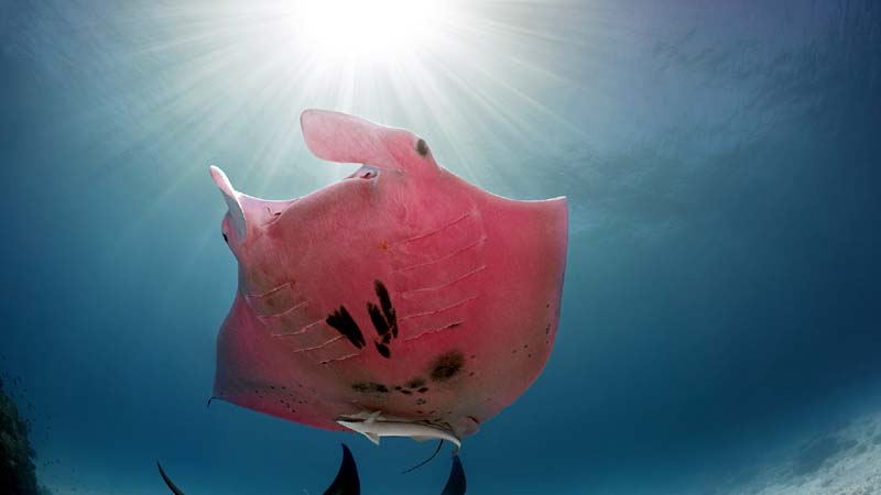 How did this rare pink manta get its colour?