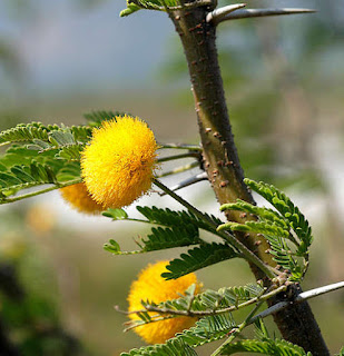 ดอกกระถินเทศ (ดอกคำใต้) ดอกมีกลิ่นหอม
