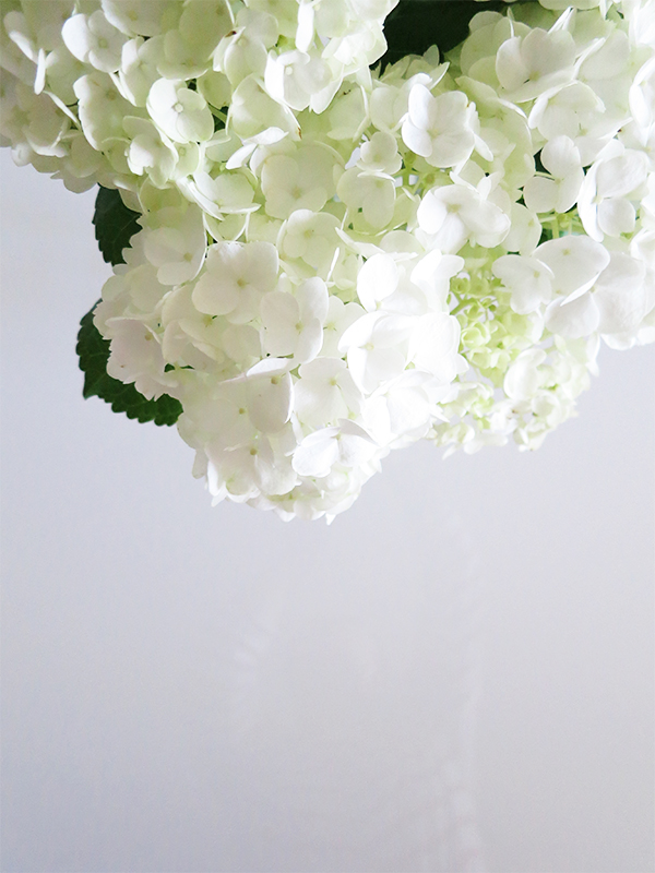 White hydrangeas against a white background