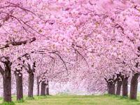 Pernah Lihat Bunga Sakura? Ini 10 Fakta Uniknya yang Jarang Diketahui