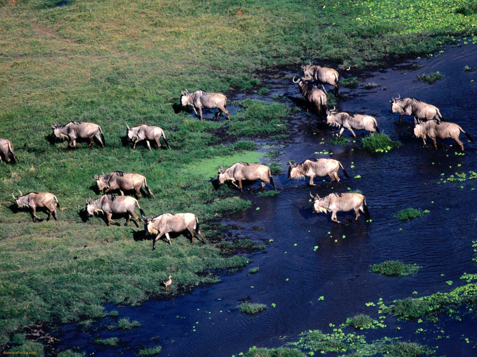 Beautiful Animals Safaris Safari Amazing Beautiful: Beautiful Animals Safaris: The Amazing Great Wildebeest