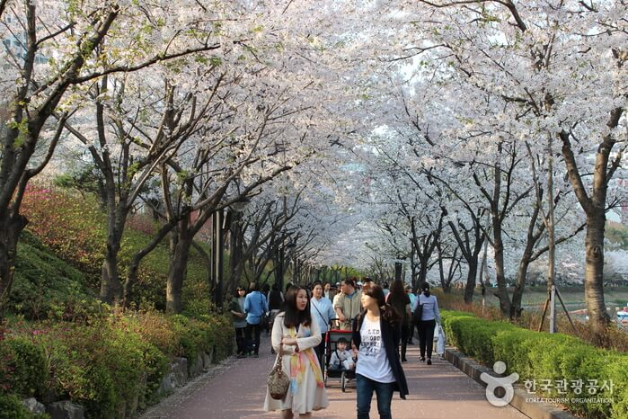 cherry blossom festival in south korea