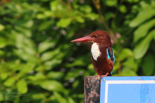 White-throated Kingfisher resting a signboard