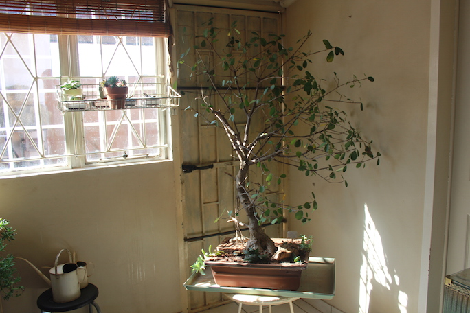 Unthinkable House Plant Tree. But as time went by  he started showing real signs of neglect When I looked at this photo him which took last July 2015 winter inside my flower room Gardening in Africa ve done the unthinkable