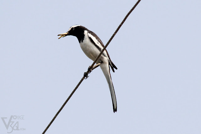White-browed wagtail/large pied wagtail (21 cm) - Mysuru