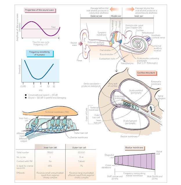 Auditory System I: The Ear And Cochlea, External and middle ear, Inner ear and cochlea, Deafness