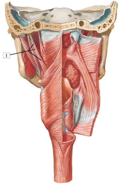 Stylopharyngeus muscle