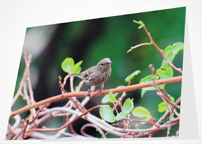 This image is from Fine Art America @ https://fineartamerica.com/featured/female-house-finch-goes-out-on-a-limb-patricia-youngquist.html?product=greeting-card