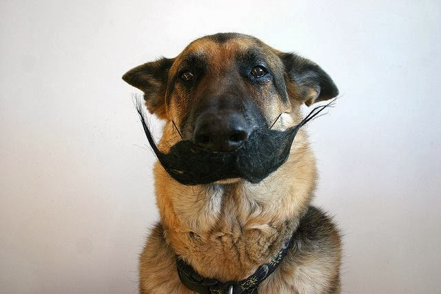 Funny German Shepherd Alsatian Dog Mustache Photo - Is this really necessary?