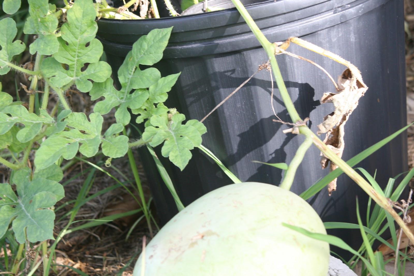 My Tropical Organic Garden How To Make Garlic Spray For