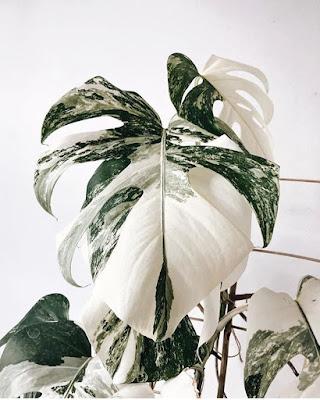 Duże liście roślin.