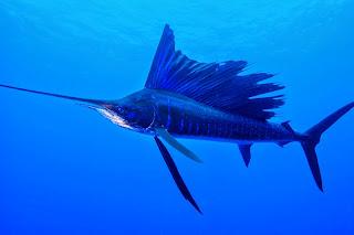 https://bio-orbis.blogspot.com.br/2014/05/o-peixe-mais-rapido-do-mundo.html