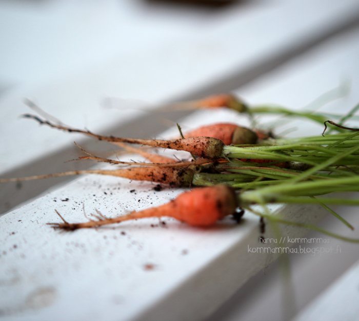 talviporkkana porkkana omasta maasta