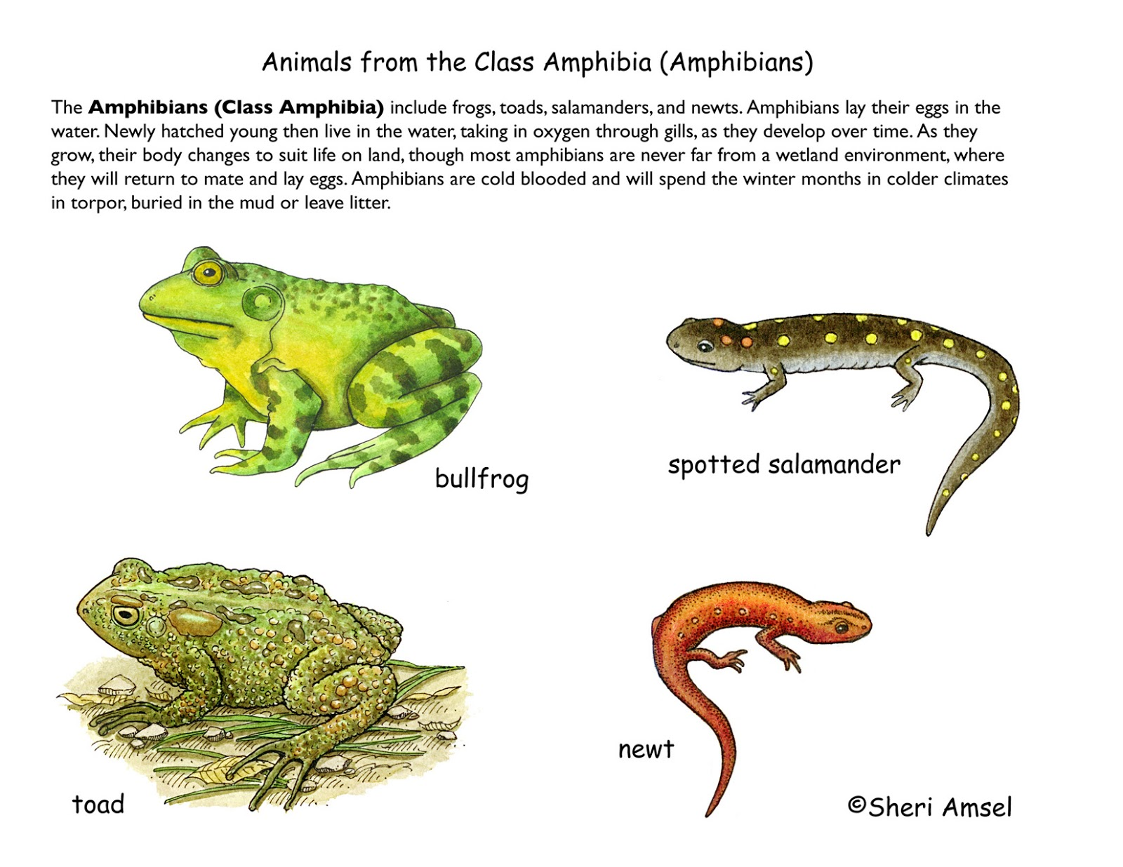 what are examples of amphibians
