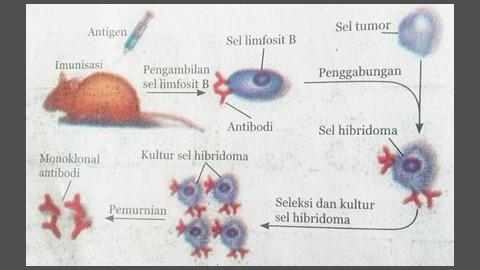 pembentukan antibodi monoklonal dengan rekayasa genetika