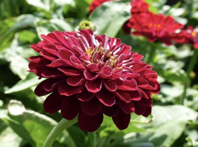 Zinnia, flor roja.