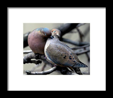 This is a screen shot of framed print  which I'm selling on Fine Art America. It features two very amorous Mourning doves. Info is @ https://fineartamerica.com/featured/cooing-mourning-doves-2-patricia-youngquist.html?product=framed-print