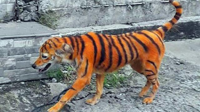 Зоозащитники возмущены окрашиванием пса в тигра!