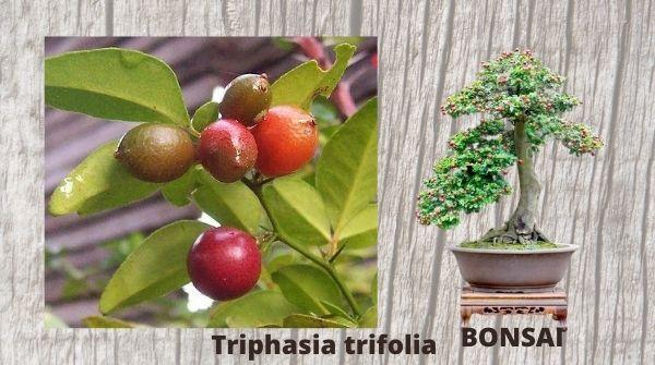 Triphasia trifolia-best choice of bonsai