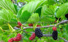 Benefits of Mulberry leaves for body health