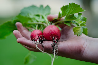 A hand holding some red radishes with soil, roots and green tops still attached.
