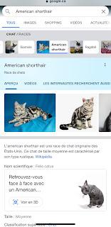 Requête Google pour un chat en RA : american shorthair