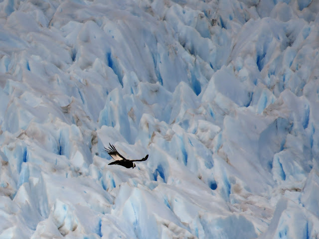 Bird soaring over the ice of Perito Moreno Glacier near El Calafate Argentina