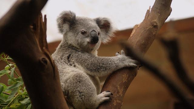 The heat is on for Australia's beloved marsupials