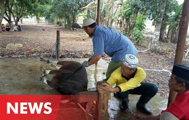 Tahun Ini, PG Camming Sembelih 13 Ekor Hewan Kurban