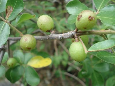 Resultado de imagem para imburana fruto