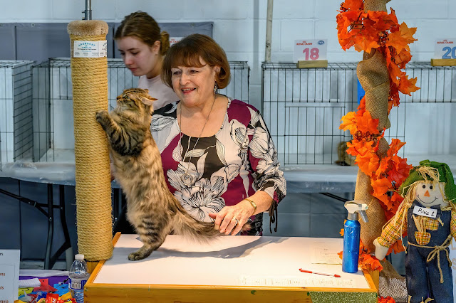 Kitten Judging at It's TICA Time Cat Show