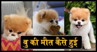 दुनिया के सबसे क्यूट कुत्ते Boo की मौत, Boo Dog Ki mot, Boo Kute Ki mot, Boo Dog Ki Death Kaise Hui, World Kyut Dog Ki Mot, Duniya Ke Kvit Kute Kj moot, Dhniya ka Sabse Sundar Kute ki moot