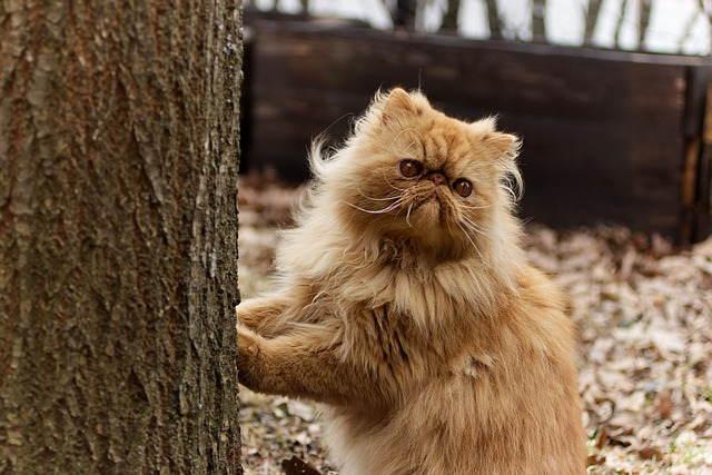 لقطط الفارسية Persian