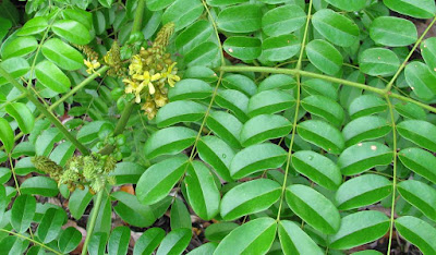 Bonduc (Caesalpinia Bonduc) Overview, Health Benefits, Side effects