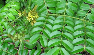 Bonduc (Caesalpinia Bonduc) Overview, Health Benefits, Side effects