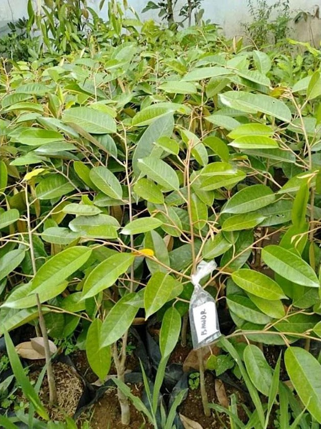 bibit durian bawor kualitas super unggul Surakarta
