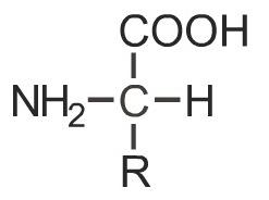 Аминокислоты - это особые органические вещества, состоящие из карбоксильной группы COOH, аминогруппы NH2 и аминокислотного остатка R.