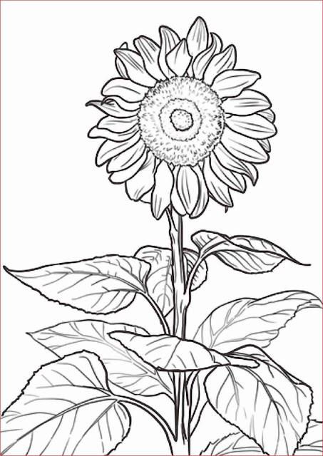 gambar-sketsa-bunga-matahari
