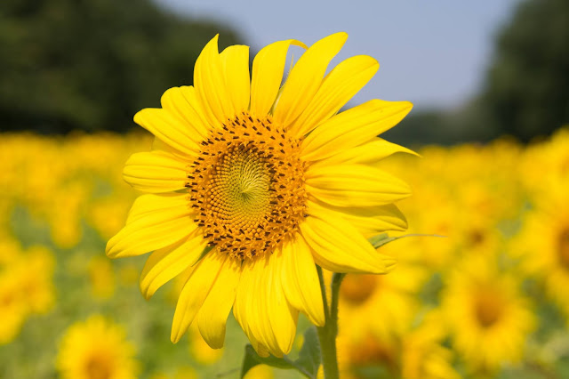 Sunflower Wallpapers in 4K - Pics-Directory