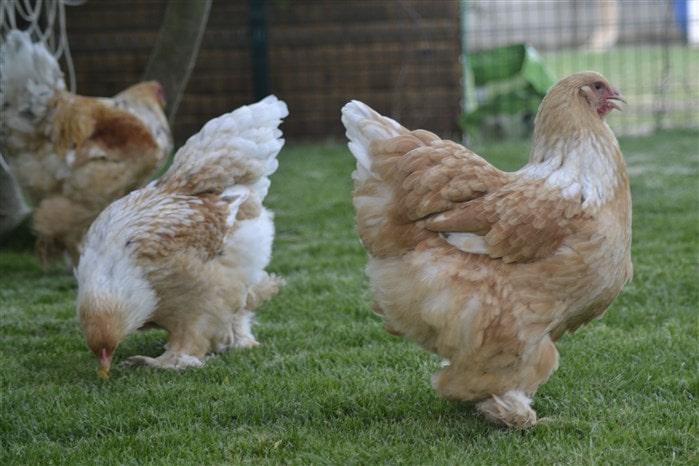 En çok kazandıran tavuk ırkları Lemon Pyle Brahma