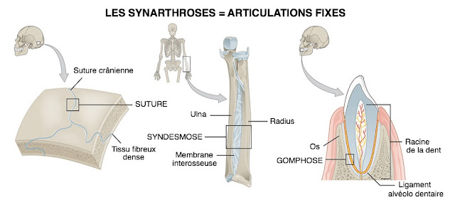 synarthrose exemple infirmier arthrologie
